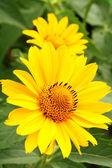 Two yellow arnica flowers — Stock Photo