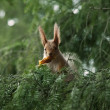 Red squirrel in the branches of fir - Stock Photo