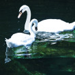 Pair of swans — Stock Photo #3119578