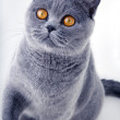 Beautiful grey british cat — Stock Photo