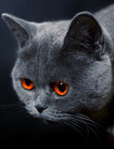 Snout of cat with dark yellow eyes — Stock Photo