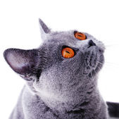 Snout of british cat with dark yellow eyes — Stock Photo