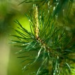 Spruce twig — Stock Photo #3916207