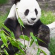 giant panda — Stock Photo #2994973