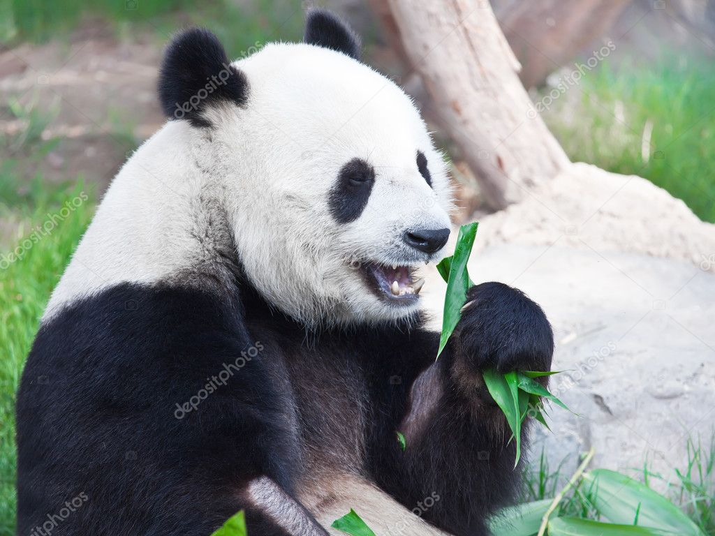 Giant panda is eating green bamboo leaf — Stock Photo #3358546