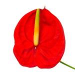 Red Anthurium — Stock Photo