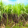 Sugar cane — Stock Photo #3429215