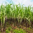 Sugar cane — Stock Photo #3562334