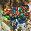 Tropical fish Mandarinfish — Stock Photo