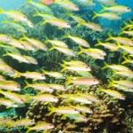 Diver and manta — Stock Photo