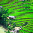 Rice field terraces — Stock fotografie