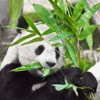 Giant panda — Stock Photo #3624762