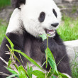 Giant panda — Stock Photo #3776896