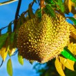 Durian - Stock Photo