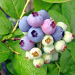Stock Photo: Huckleberries