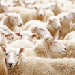 Herd of sheep - Stockfoto