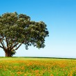 Lonely tree on the blossoming field - Stock Photo