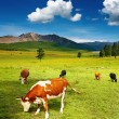 Grazing cows — Stock Photo #3003279