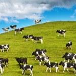 vitelli al pascolo — Foto Stock