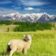 Stock Photo: Grazing lamb