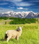 Grazing lamb — Stock Photo