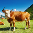 Grazing cow — Stock Photo #3708472