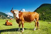 Wypas krów — Zdjęcie stockowe