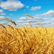 Wheat field — Stock Photo #3826342