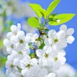 Branch of flowering cherry — Stock Photo
