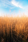 The field of rye — Stock Photo
