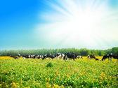 Vaca no pasto — Foto Stock
