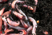 Earthworms — Stock Photo