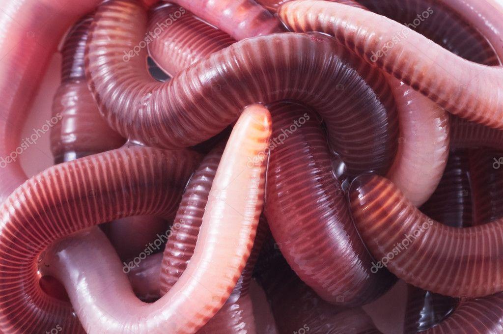 рыбалка дождевой червь