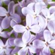 Royalty-Free Stock Photo: Lilac flowers