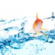 Gold fish jumping - Stock Photo