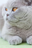 Portrait of British cat — Stockfoto