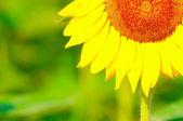 Güzellik ayçiçeği — Stok fotoğraf