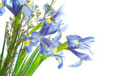 Beautiful fresh iris flowers. — Foto Stock