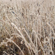 Frost grass close up — Stock Photo #2969451