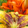 Orange lily — Stock Photo #2969837
