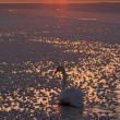 Swan on icy sea — Stock Photo