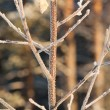 Frost Brich leaf — Stock Photo