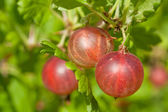Red gooseberries — Stock Photo