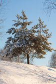 Snowy winter with firs — Stock Photo