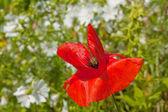 Red poppy flower — Stock Photo