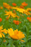 Marigold close up — Stock Photo