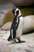 Jackass penguin standing — Stock Photo