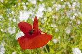 Red poppy flower — Stock Photo