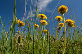 Dandelions on sky — Stock Photo