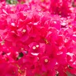 Stock Photo: Flowers Bougainvillea
